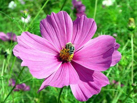 Cosmos, Flower, Pink, Bee, Pollinator, Asteraceae