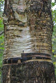 Birch, Tree Bark, Close, Nature, Wood, Tree, Tribe