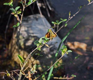 Fiery Skipper On Branch, Skipper, Butterfly, Blossom