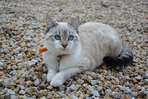 Cat, Kitten, Blue Eyes, Cat Eyes, Domestic Animal