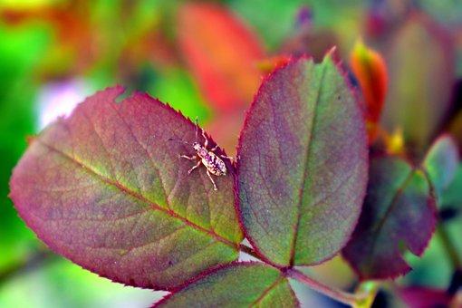 Bug, Leaf Eater, Rose Leaf, Camouflage