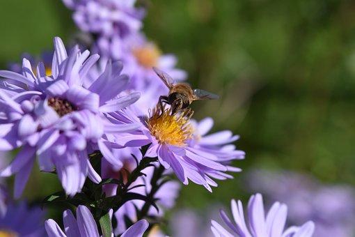 Aster Frikartii, Daisies, Aster, Daisies Purple, Bee