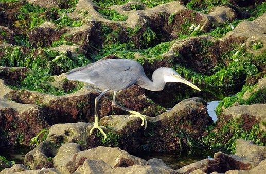 Bird, Wader, Western Reef Heron, Egretta Gularis