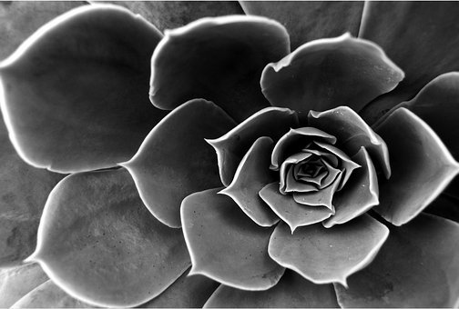 Cactus, Flower, Black And White, Aloe, Dead Nature