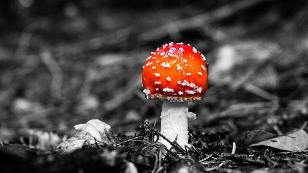 Mushroom, Mushrooms, Fly Agaric, Forest, Nature, Autumn
