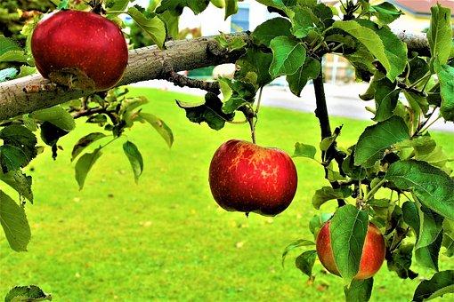 Sad, Fruitful Apple Tree, Apples, Autumn, Fruit