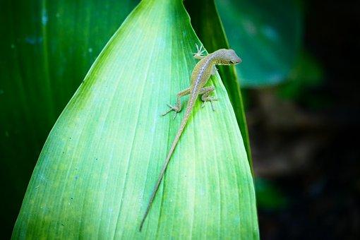 Lizard, Anole, Reptile, Animal, Nature, Green, Wild