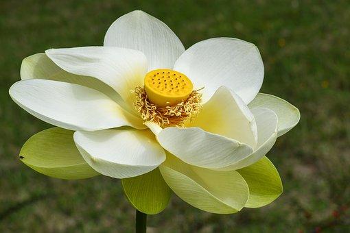 Lotus Flower, Heart, Aquatic Plant, Flower, Lotus