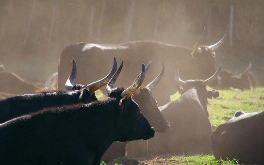 Nature, Animals, Bull, Camargue, Black, Horns