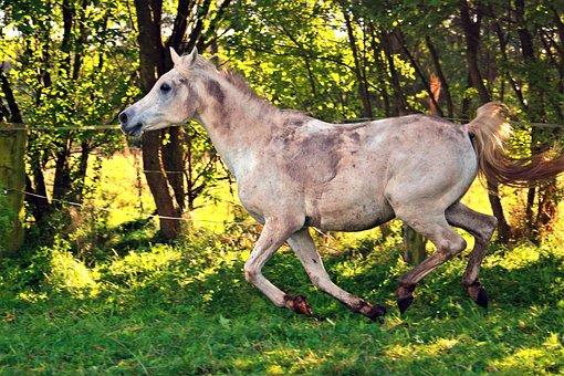 Horse, Gallop, Arabs, Thoroughbred Arabian, Mold