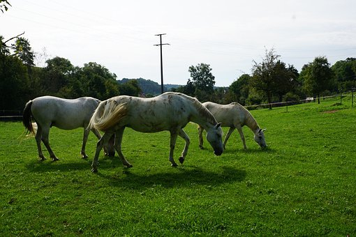 Horse, Pasture, Summer, Meadow, Coupling, Nature
