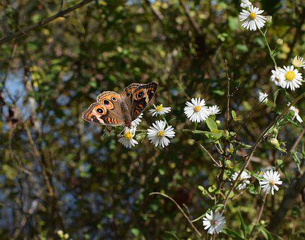 Buckeye Butterfly, Butterfly, Insect, Animal