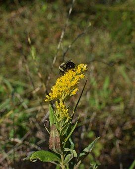 Honeybee On Goldenrod, Bee, Insect, Pollinator, Animal