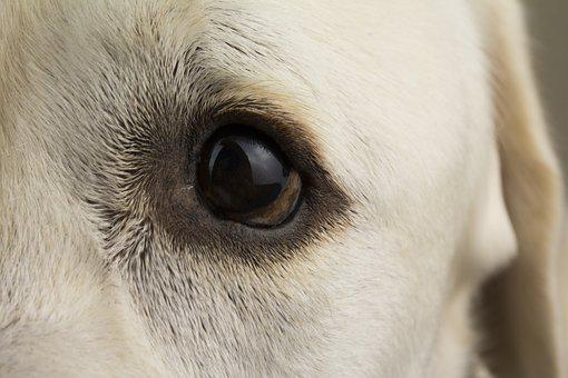 Dog, Labrador, Animal, Pet, Cute, Puppy, Eye, Pedigree