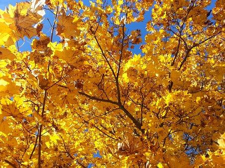 Yellow Leaves, Autumn, Maple, Autumn Leaves, Light