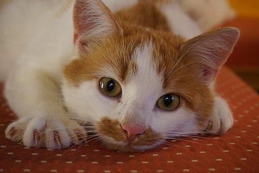 Cat, Adidas, Pet, Domestic Cat, Fur, Cat's Eyes