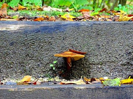 Armillaria Mellea, Mushroom, Stair Step, Forest, Nature
