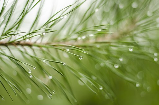 Nature, Pine Needles, Background, Macro, Rain, Purity
