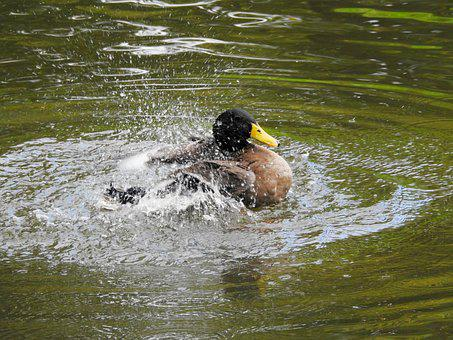 Duck, Water Bird, Drake, Animal, Pond, Bird, Nature