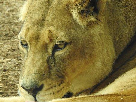 Lion, Mammal, Wild, Wildlife, Nature, Animal, King