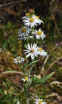 White Aster, Wildflower, Flower, Blossom, Bloom, Plant