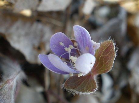 Plant, Wildflower, Hepatica, Liverwort