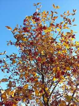 Autumn, Rowan, Red Berries, Fall Colors, Branches, Sky