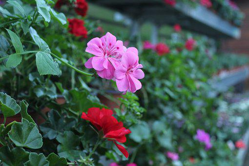 Pink Flower, Red Flower, Spring Flowers, Flower Picture