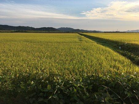 Rice Paddies, Autumn, In Autumn, Ch, Farming, Rice