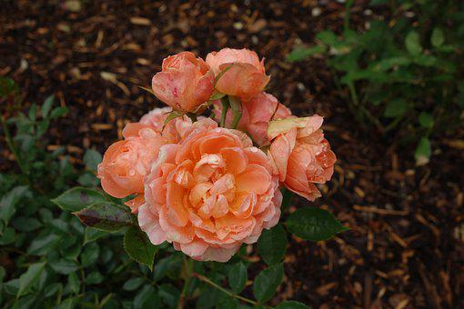 Rose, Blossom, Bloom, Garden, Flower, Rose Blooms