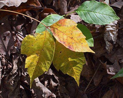 Poison Ivy Fall Coloration, Plant, New Leaves, Spring
