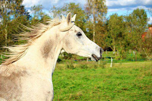 Horse, Mold, Horse Head, Arabs, Thoroughbred Arabian