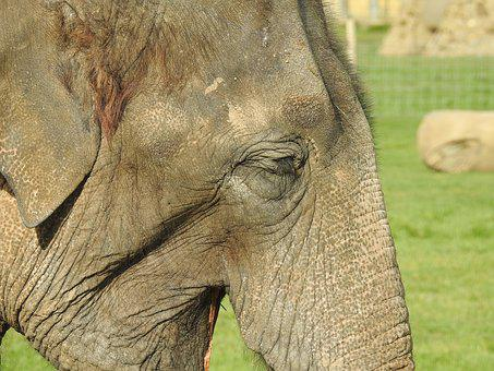 Elephant, Mammal, Animal, Wildlife, Wild, Nature