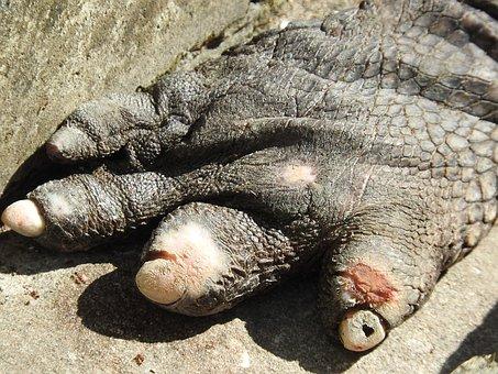 Gator Claw, Animal, Reptile, Gator, Alligator, Skin