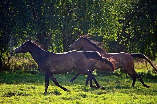 Horse, Arabs, Thoroughbred Arabian, Gallop, Flock