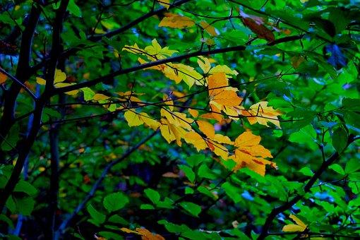 Fall Foliage, Deciduous Tree, Autumn, Leaves, Yellow
