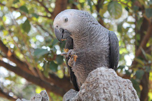 Bird, Parrot, African Grey, Claw, Eat, Exotic, Pet