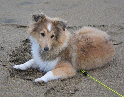 Dog, Bitch, Shetland Sheepdog, Elongate Sand, Pup