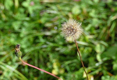 Dandelion, Macro, Seeds, Blossom, Bloom, Meadow