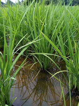 Paddy, Field, Farm Land, Farming, Plant, Agriculture