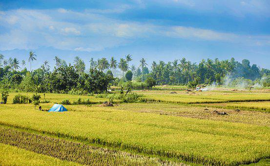 Rice, Fields, Nature, Plant, Agriculture, Farm