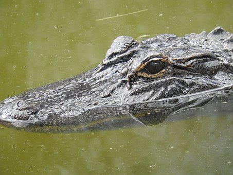 Alligator, Florida, Nature, Animal, Reptile, Swamp