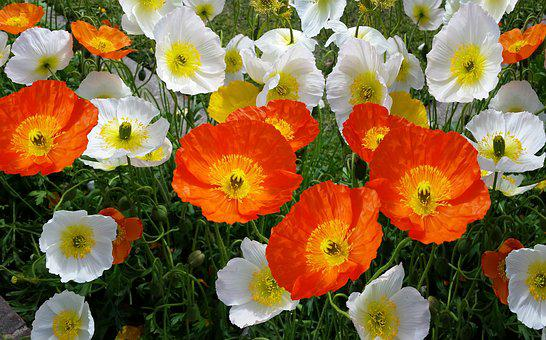 Iceland Poppies, Spring, Flower