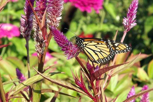 Fauna, Butterfly, Fair Admiral, Flowers, Garden, Nature