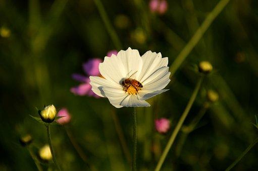 Bee, Cosmos, White, Flowers, Honey