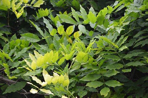 Green Leaves, Foliage, Nature, Green Leaf, Green