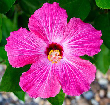 Hibiscus, Flower, Pink, Tropical, Nature, Floral