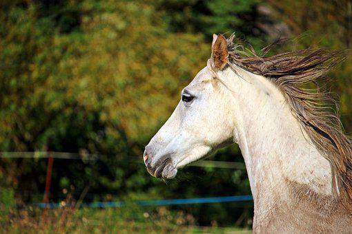Horse, Horse Head, Mold, Arabs, Pasture, Coupling