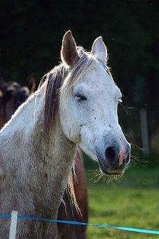 Horse, Mold, Thoroughbred Arabian, Tired, Horse Head