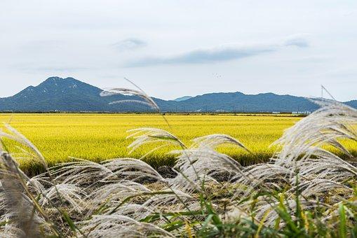 Korea, Incheon, Ganghwado, Landscape, Travel, Cosmos